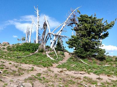 Wind-Blasted Trees, Mt. Hood