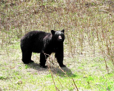 Black Bear - BC  Canada