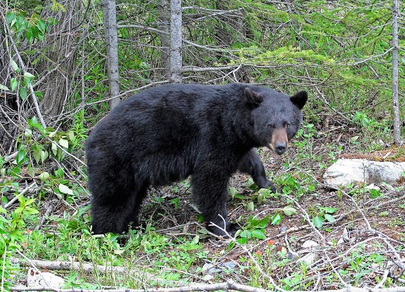Black Bear - Canada