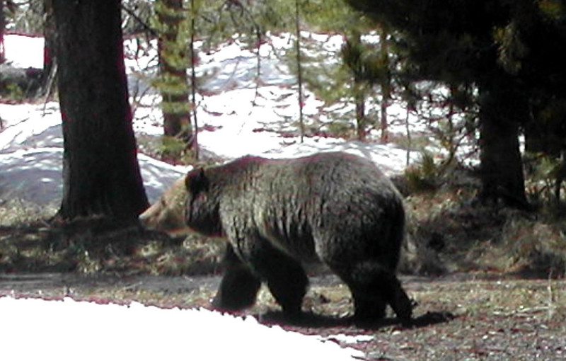 Grizzly Bear in Yellowstone NP