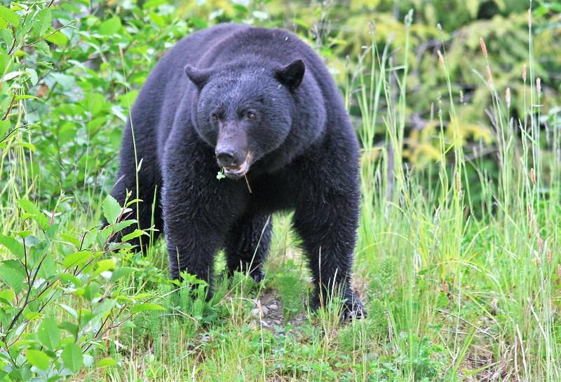 Black Bear  -  Vancouver Island  BC  Canada