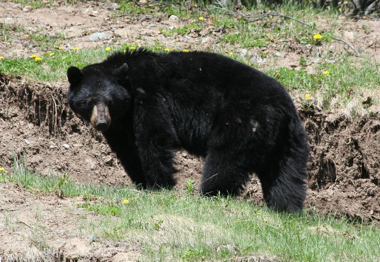 Black Bear - Bella Coola  BC Canada