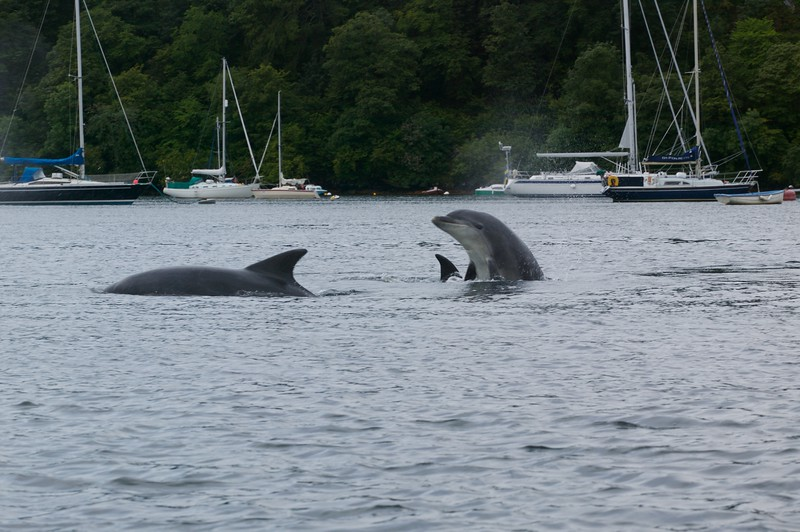 Inquisitive bottlenose dolphins (Tursiops truncatus) - Tobermory Harbour, Mull, Scotland