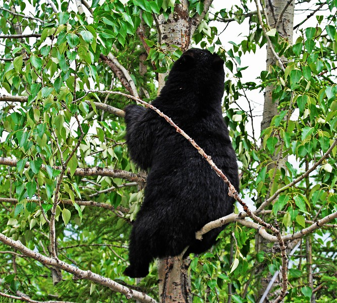 Black Bear  Jasper NP  BC  Canada
