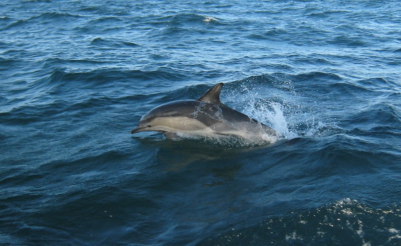 The not-common-enough dolphin (Delphinus delphis) - off the coast of Pembroke, Wales
