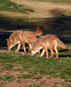 Coyotes in the morning 2