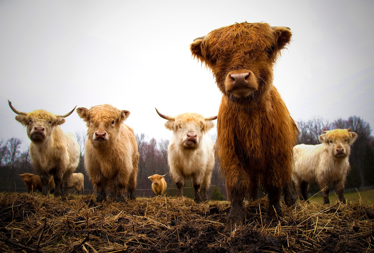 Highland Cattle Stare Down