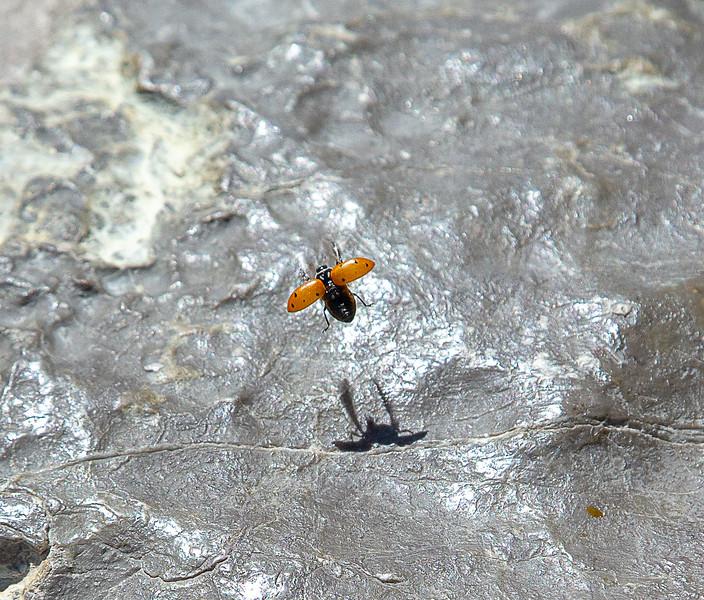 Lady Bug in flight- Albuquerque, NM