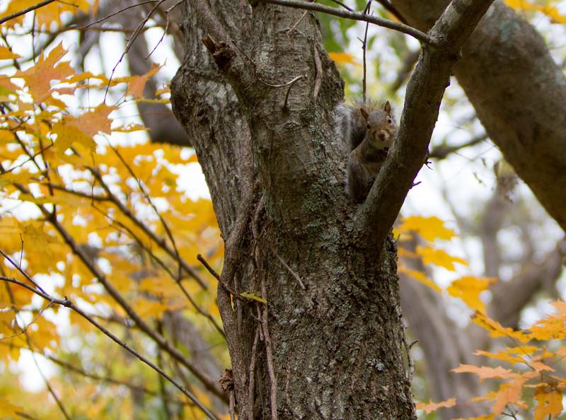 Squirrel near Radnor Lake, Franklin, TN