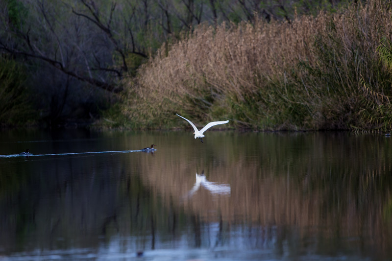 White Crane @ Rio Verde