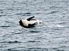Orca between San Juan Island, WA and Victoria, BC