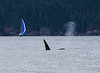 Sail and a Whale- Resurrection Bay, AK