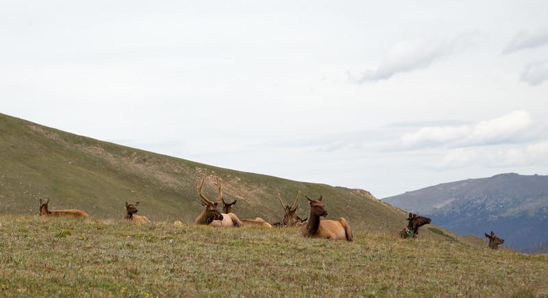 Rocky Mountain Park- Elk on the Tundra