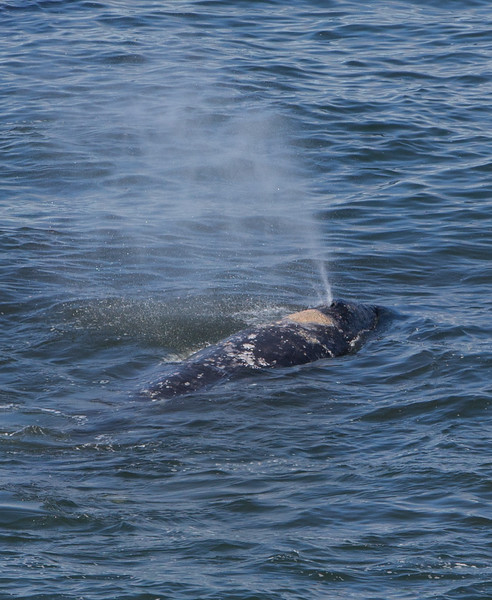 Gray Whale, Depoe Bay, OR
