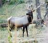 Elk in the Northwest Trek