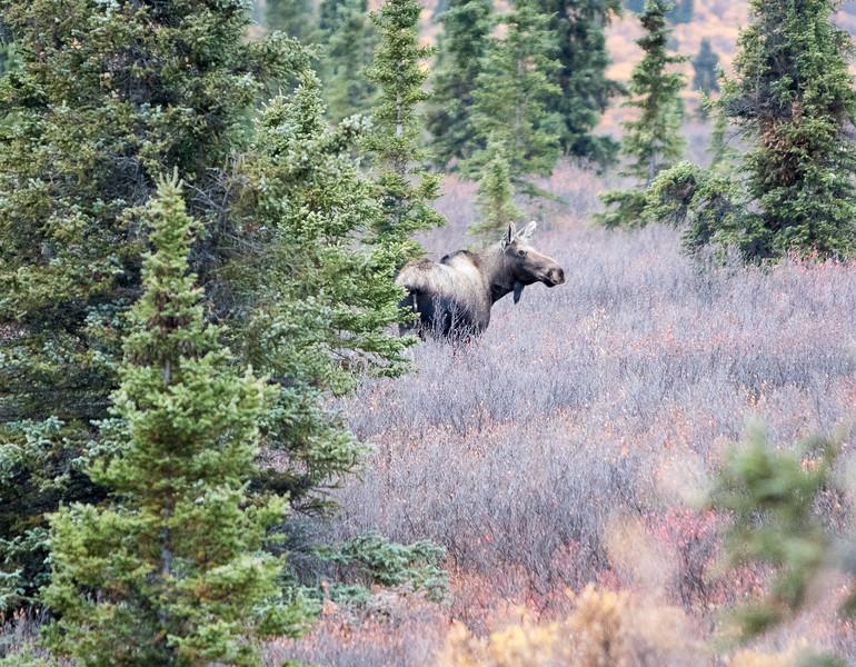 Moose in Denali National Park, AK