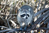 Raccoon in the Everglades