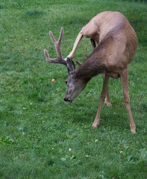 4 point buck, Silverton, CO