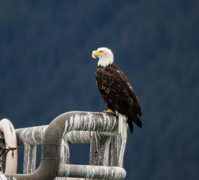 Bald Eagle- Resurrection Bay, AK