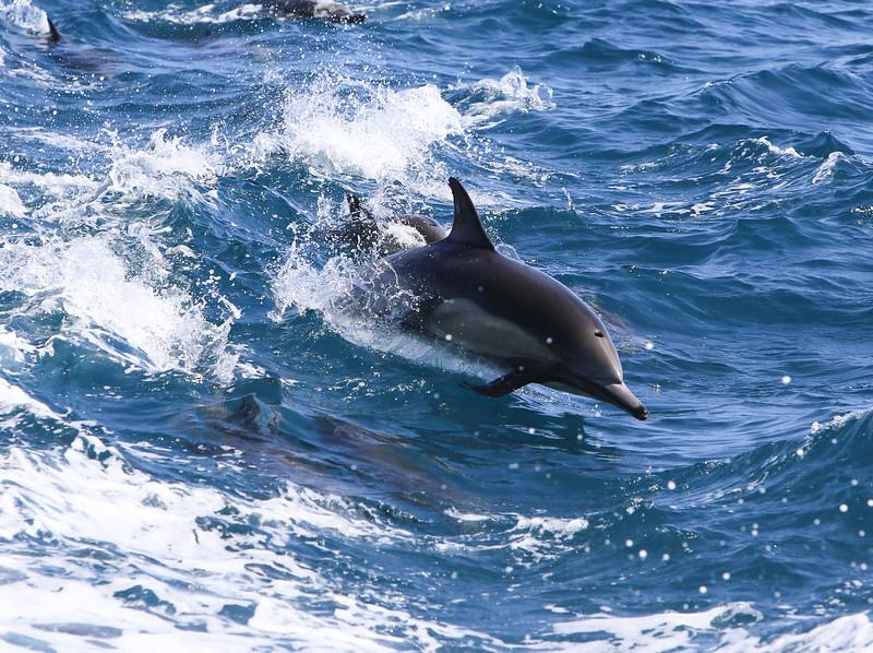 Dolphin off of Newport Beach, CA