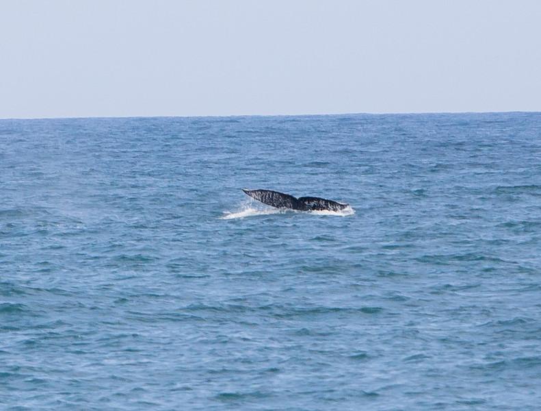 Tale of a Humpback off the coast of Ventura, CA