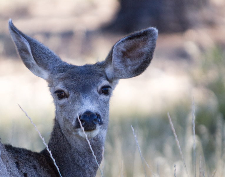 Doe in Bryce Canyon National Park, UT