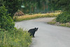 Black Bear north of Ouray, CO