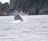 Humpback Whale- Kenai Fjiords National Park, AK