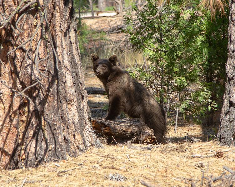 Black Bear- Yosemite National Park