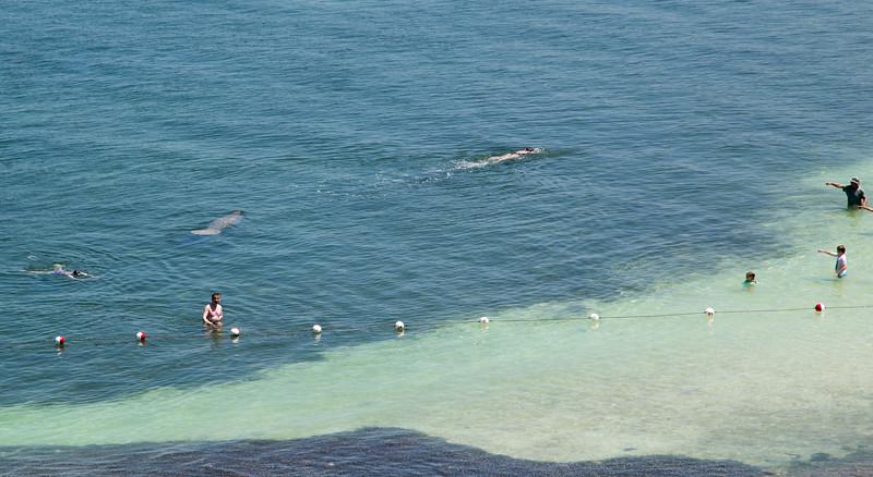Manitee swims near Bahia in the Florida Keys