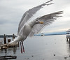 Gull eating an Ivar's fry on Seattle Waterfront