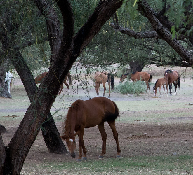 Wild Horses of Salt River