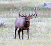 Rocky Mountain Park- Bull Elk @ Moraine