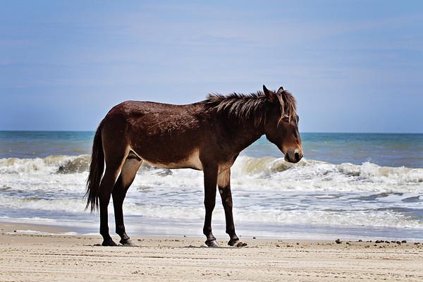 Corolla Wild Horses on the beach.