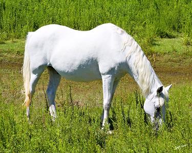 Spanish Pony