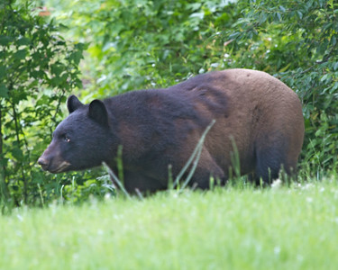 Outer Banks Bear