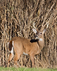 Outer Banks Whitetail Deer