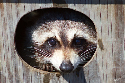 Peaking Raccoon