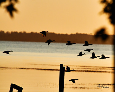 Ducks at Sunset 1203