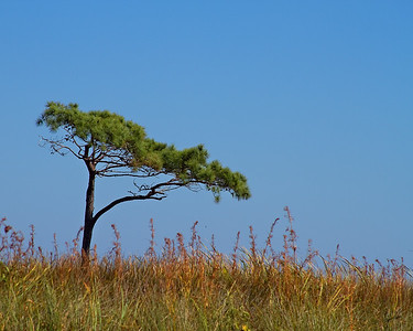 A single  pine tree out in the marsh. I loved the fook of this.