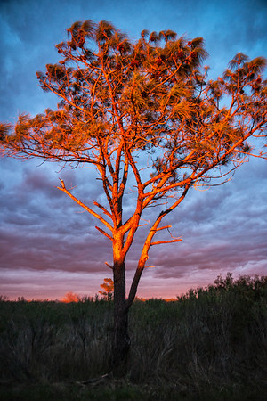 OBX Tree at Sunset