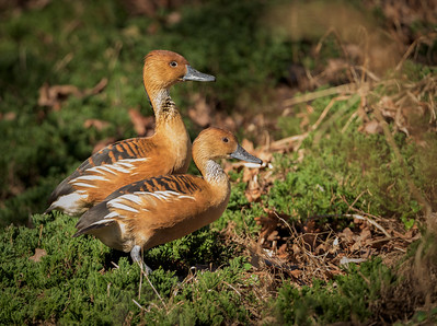 Fulvous Whistling Duck ©Phyllis Peterson