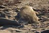 Elephant seals at Piedras Blancas Rookery