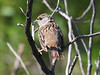 #4 Golden-crowned Sparrow, juvenille