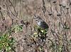 #7 Song Sparrow