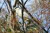 #16 Black-crowned Night-Heron