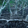 Mangrove forest 1