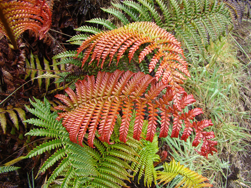 'Ama'u fern. The red pigment protects the young leaves from the ultraviolet sunlight at higher elevations [photo by Irene Newhouse]