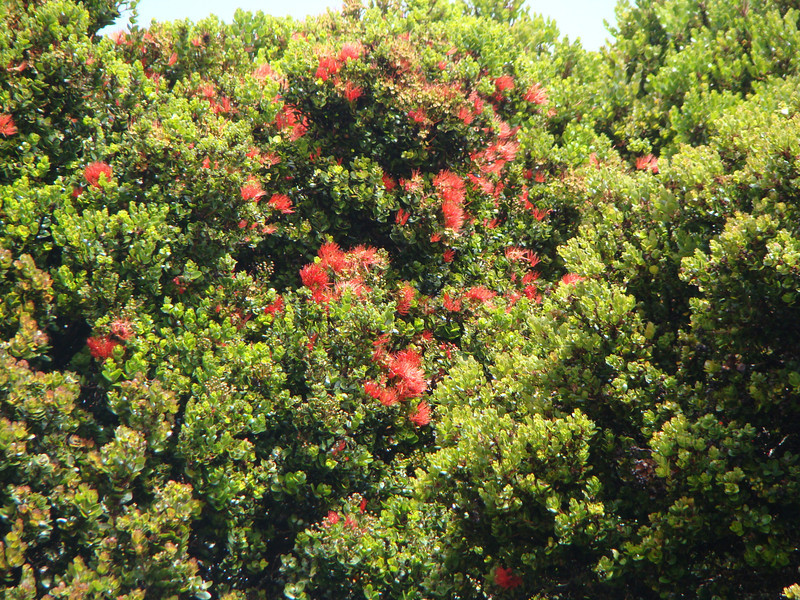ʻōhiʻa (Metrosideros polymorpha) in bloom [photo by Irene Newhouse]