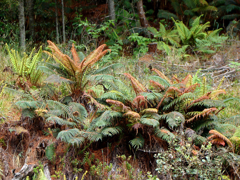 `ama`u (Sadleria cyatheoides) is very common in more open areas [photo by Irene Newhouse]
